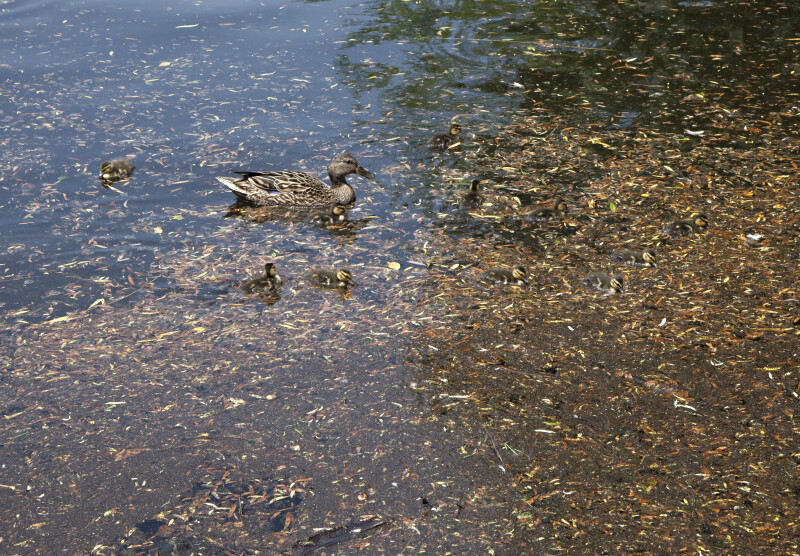 Mother Duck with Her Young Swimming Through Plant Debris at the Boston Public Garden