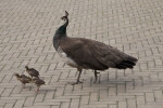 Mother Peahen Escorting Three Chicks