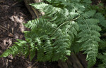 Mother Spleenwort