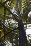 Mount Lewis King Palm (Archontophoenix purpurea)