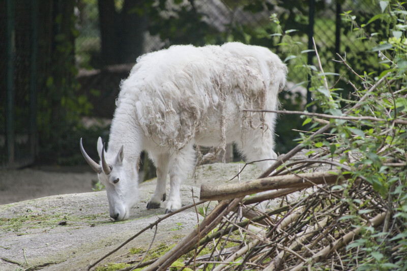 Mountain Goat With Shaggy Coat