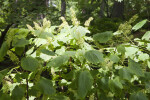 Mountain Maple Branches