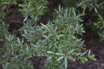 Mountain Pepper Plant