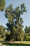 Mourning Cypress Tree at Capitol Park in Sacramento
