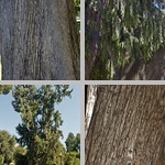 Mourning Cypress Trees photographs