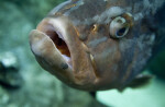 Mouth of a Grouper