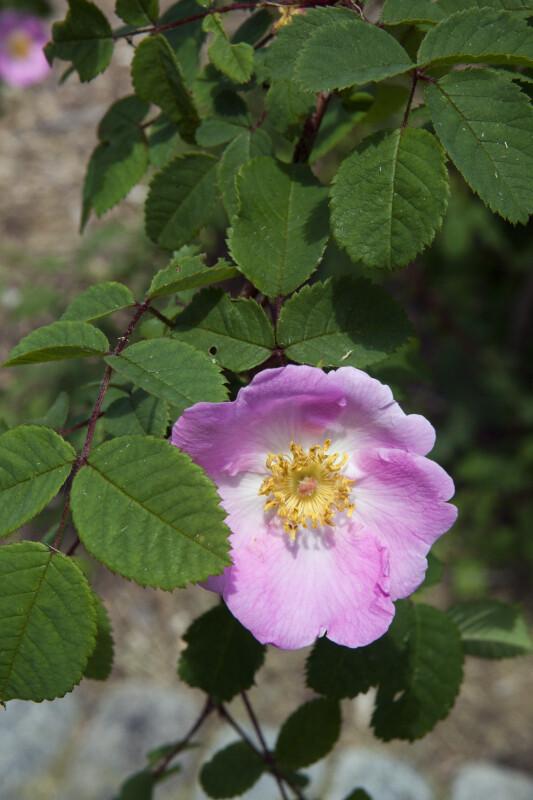 Moyes Rose Branch
