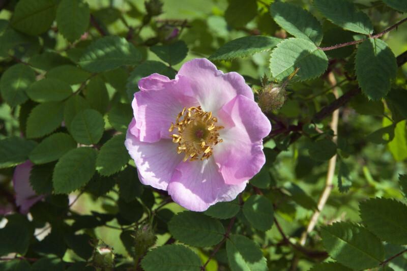 Moyes Rose Flower