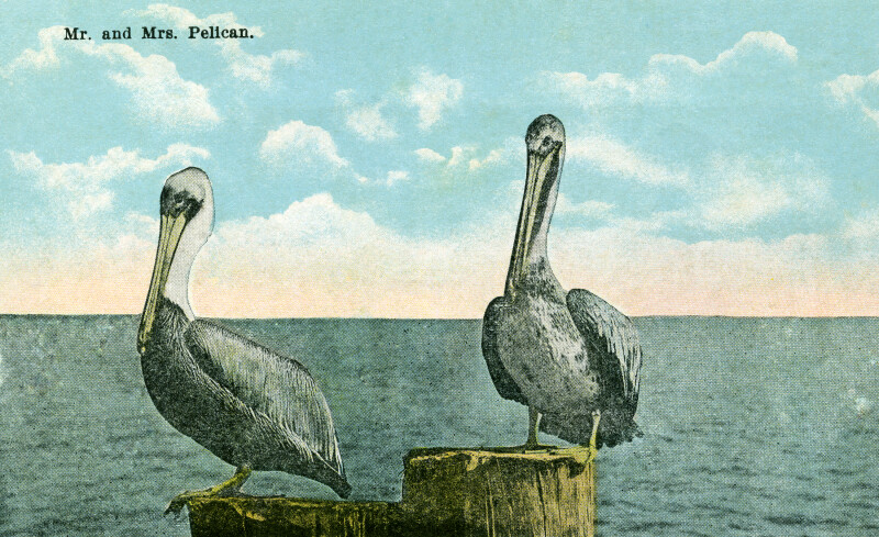 Mr. and Mrs. Pelican