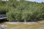 Muddy Saltwater, Mangroves, and a Boardwalk