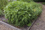 Mugwort Bush Growing in a Bed at Old Economy Village