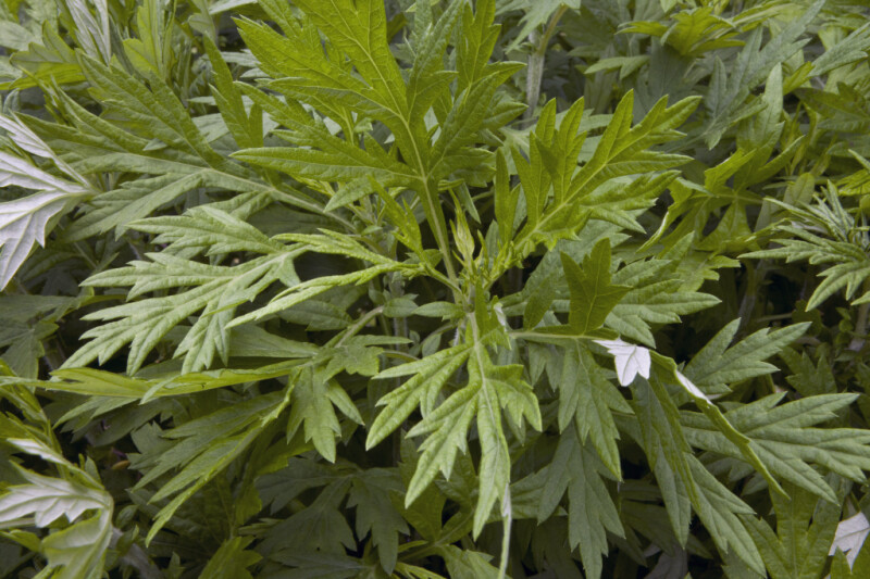 Mugwort Plant Leaves