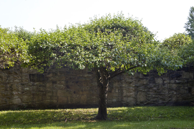 Mulberry Tree at Old Economy Village