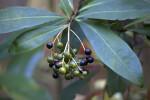 Multi-Colored Berries
