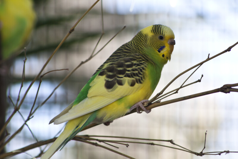 Multi-Colored Budgie
