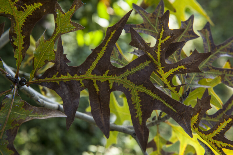 Multi-Colored Turkey Oak Leaf