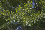Multiple Green Leaves of an Autumn Gold Gingko Tree