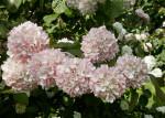 Multiple Japanese Snowball Flowers