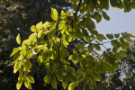 Multiple Leaves on the Branches of a Japanese Zelkova Tree