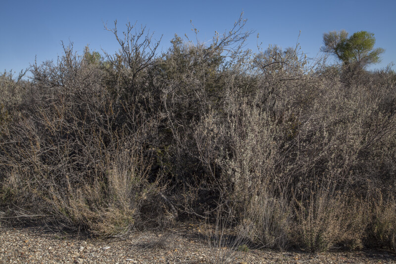 Multiple Thorny Shrubs Along the Chihuanhuan Desert Trail of Big Bend National Park