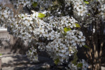 Multiple White Flowers at the San Antonio Botanical Garden
