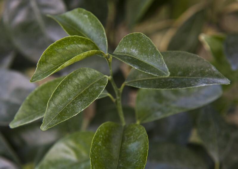 Murcott Honey Tangerine Leaves