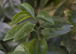 Murcott Honey Tangerine Leaves