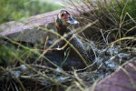 Muscovy Duck on Nest