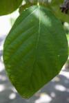 Myriocarpa longipes Tree Leaf