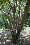 Myriocarpa longipes Tree