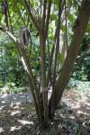 Myriocarpa longipes Tree