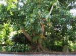 Mysore Fig