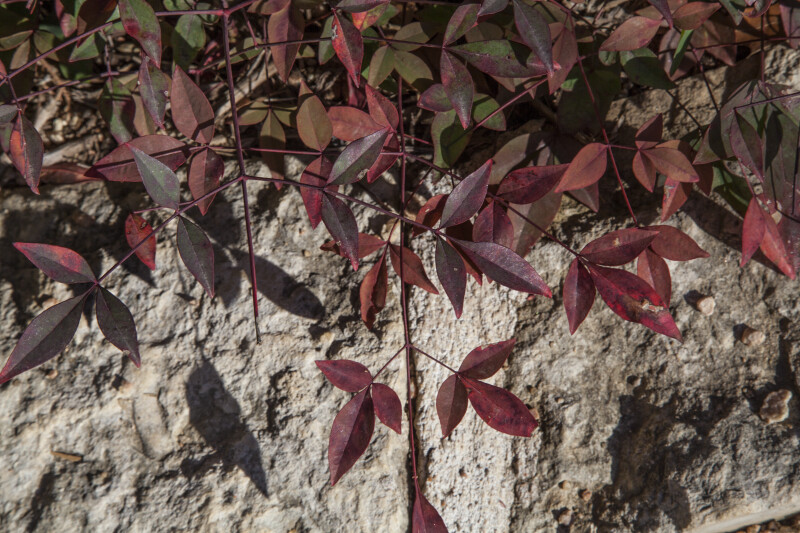Nandina domestica Leaves and Branches
