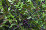 Nandina with Green Leaves and Purple Stems