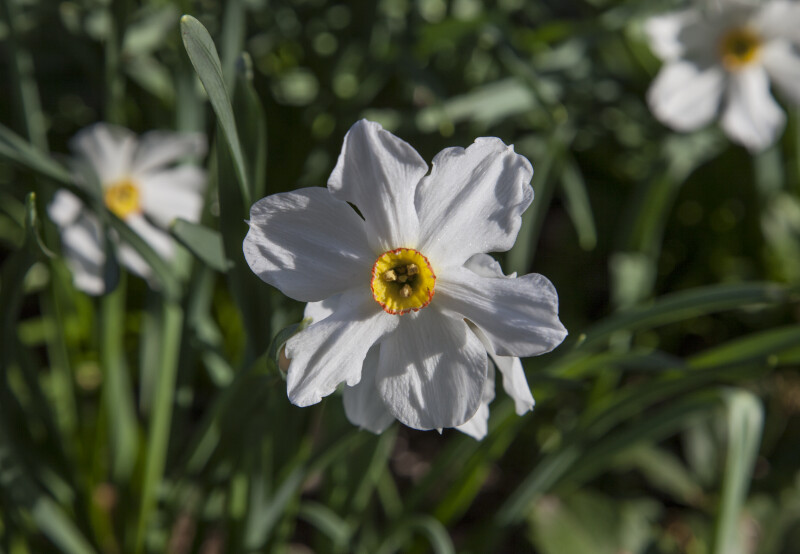 Narcissus Flower with a Yellow Center