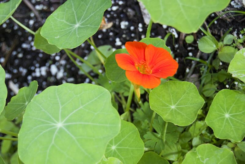 Nasturtium - Circular, Green Leaves & Bright Orange Flower