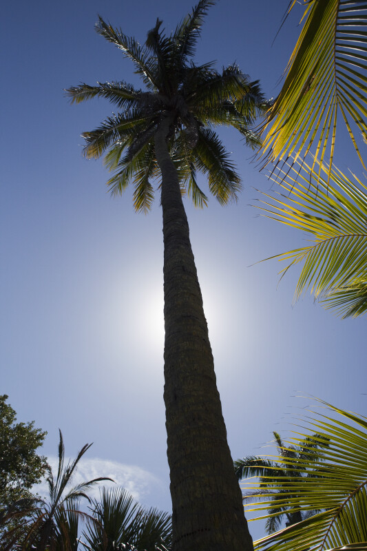 Nawassi Coconut Tree