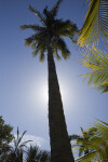 Nawassi Coconut Tree