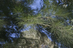 Needle-Like Leaves of a River She-Oak