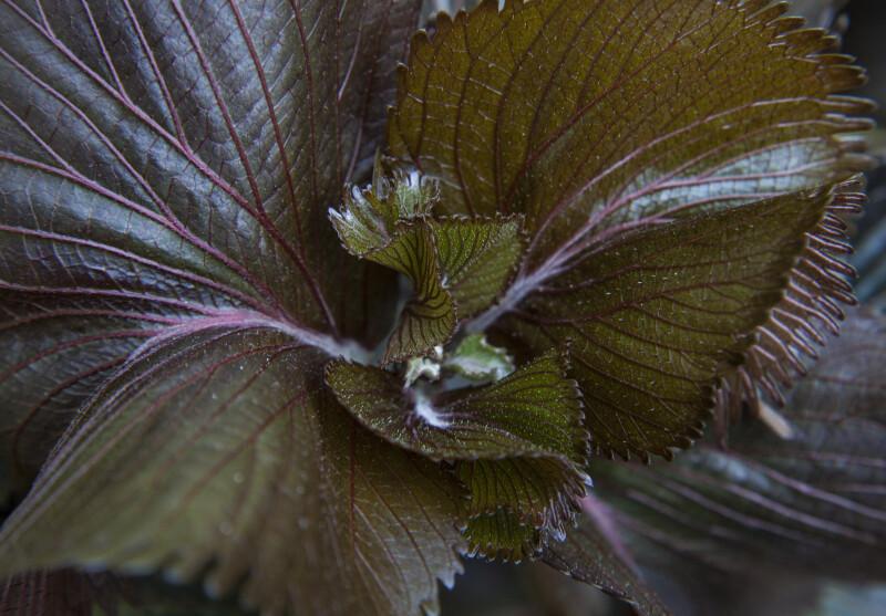 New Copper Plant Leaf Growth