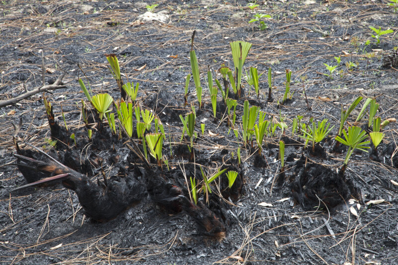 New growth on Saw Palmettos damaged by fire