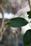 New Guinea Trumpet Creeper Leaves