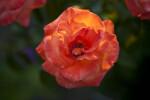 """""""New Year"""" Grandiflora Rose"""
