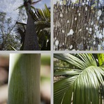 Nicobar Palms photographs