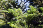 Nikko Fir Needles