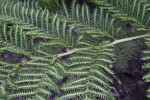 Norfolk Island Fern Branch