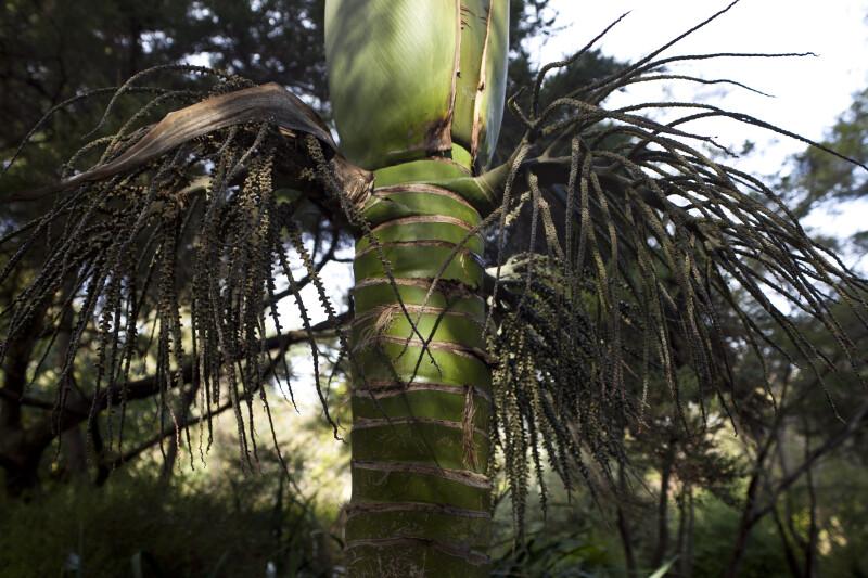 Norfolk Island Palm Close-Up