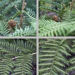 Norfolk Tree Ferns photographs