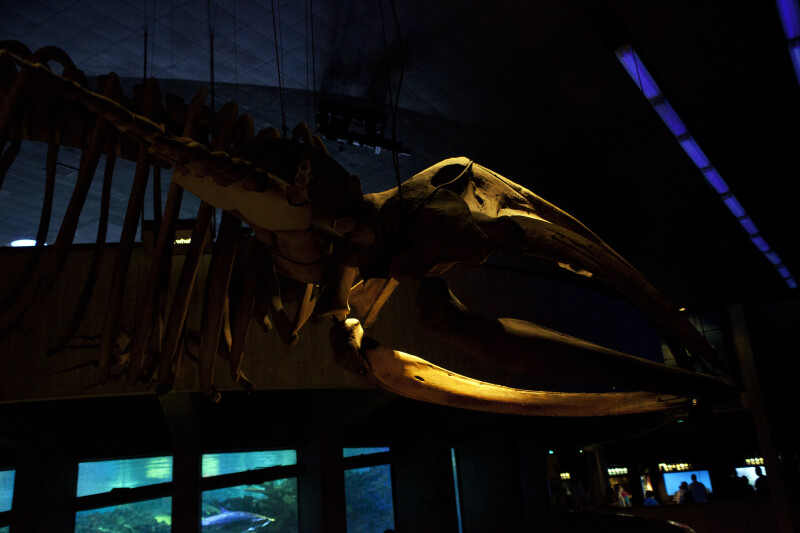 North American Right Whale Skeleton on Display