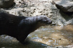 North American River Otter